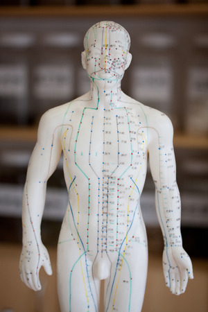 Male acupuncture model