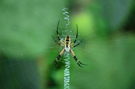 argiope: Black and Yellow Garden Spider in Web
