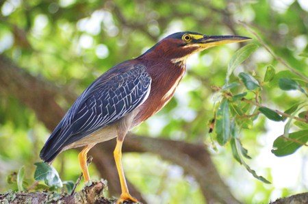 obx: Green Heron in Tree Close-up