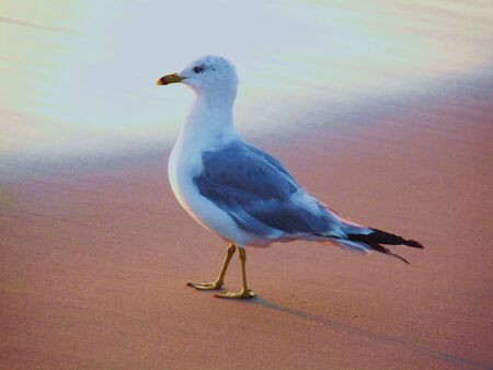 obx: Seagull on Shore Close-UP Stock Photo