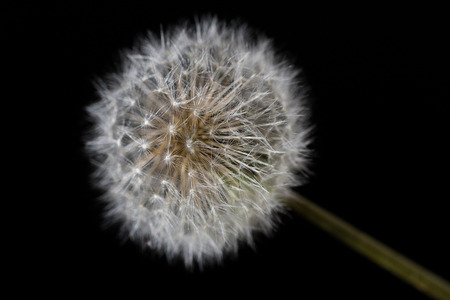 Macro close up of a Dandelion on a black background.