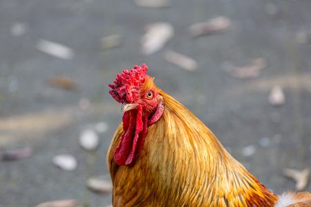 A cold, serious, assertive stare from a wild, red rooster.
