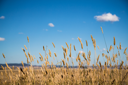 Dry grass blows in the wind on the dry bed of Lake George, New South Wales.