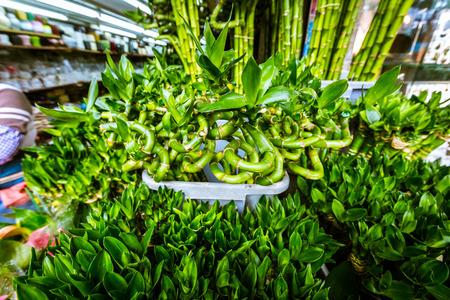 Potted young bright green bamboo saplings in a Hong Kong supermarket. Фото со стока