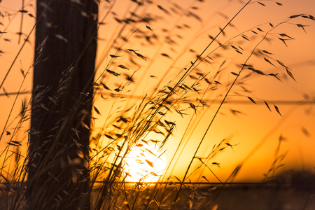 Tall grass blowing in the wind against a fence on a farm, looking into the sun at sunset. Фото со стока