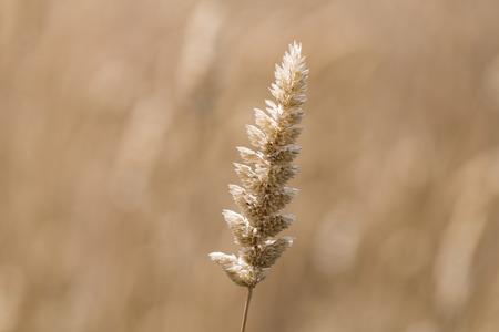 Macro close up of long grass in a field in bright sun light. Rural Australia. Фото со стока