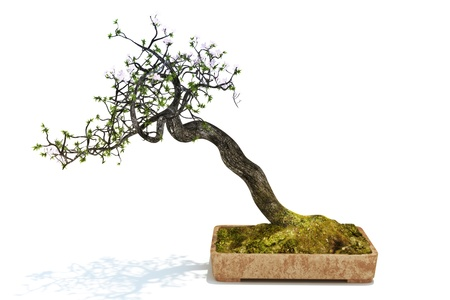 Bonsai tree isolated on a white background. 300 D.P.I  photo