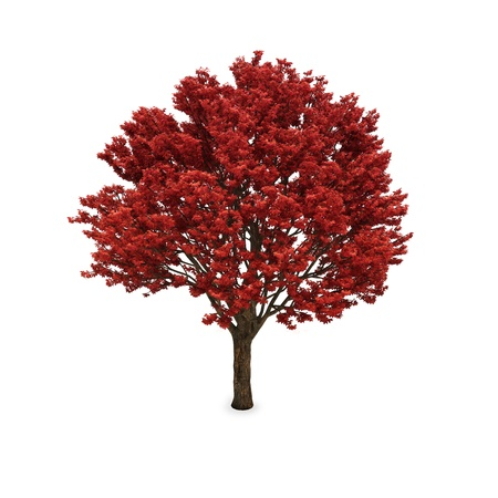 Autumn tree with red foliage isolated against a white background
