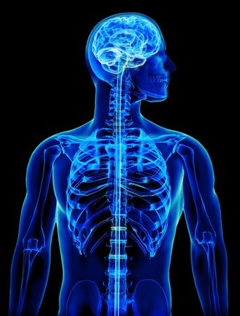 corpo umano: X-ray con il cervello e il concetto del midollo spinale