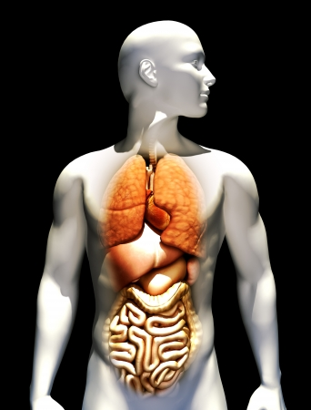 physiology: Human illustration with emphasis on lungs,heart,liver,stomach, and intestines. Stock Photo