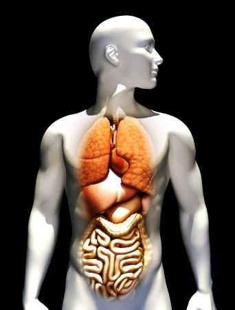 organi interni: Illustrazione umana con particolare attenzione ai polmoni, cuore, fegato, stomaco e intestino.