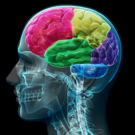 anatomy brain: Colored sections of a male human brain ,x ray concept. Part of a medical series
