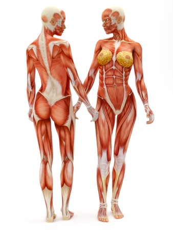 muscle anatomy: Female musculoskeletal system front and back isolated on a white background .Part of a muscle medical series.  Stock Photo