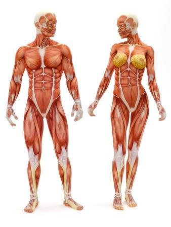 corpo umano: Maschio e femmina sistema muscolo-scheletrico isolato su uno sfondo bianco. Parte di una serie muscolare medica.