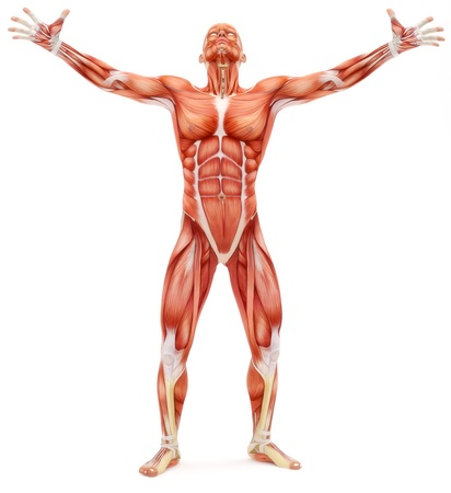 physiology: Male musculoskeletal system looking upward isolated on a white background. Part of a muscle medical series.