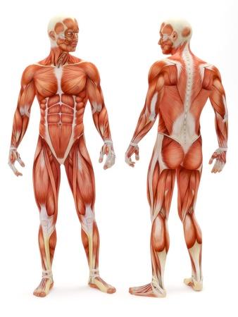 남성 근골격계 앞면과 뒷면은 흰색 배경에 고립. 근육 의료 시리즈의 일부입니다.