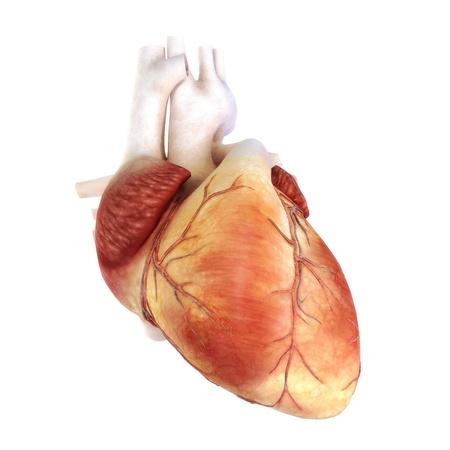 heart disease: El corazón humano, aislado en un fondo blanco