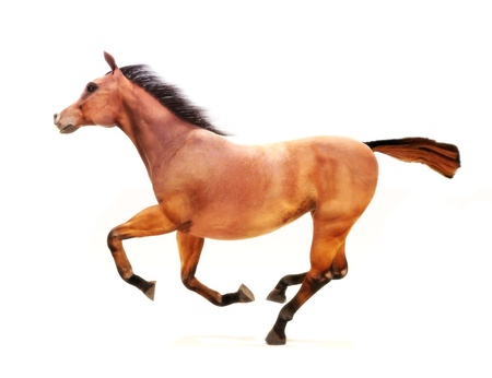 chestnut male: Horse in a gallop on a white background  Part of an animal theme series