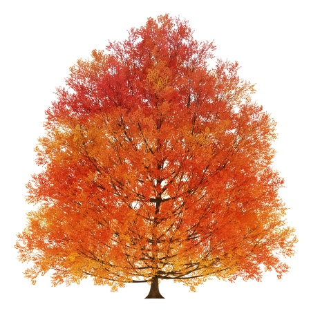 huge tree: Autumn tree isolated on a white background