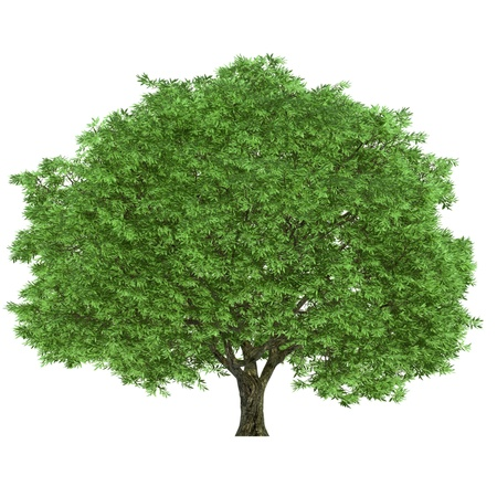 single tree: Large tree isolated on a white background