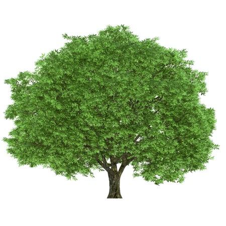 arboles frondosos: Un gran árbol aislado en un fondo blanco Foto de archivo