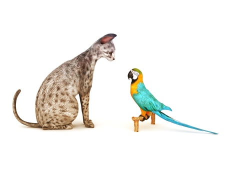 standoff: Stand your ground  Parrot facing off to a cat  Humor, Part of an animal theme series
