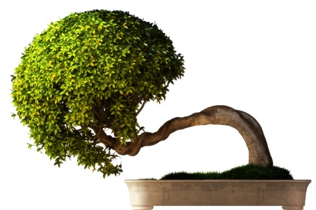 bonsai: Bonsai tree side view with a white background  Part of a Bonsai series