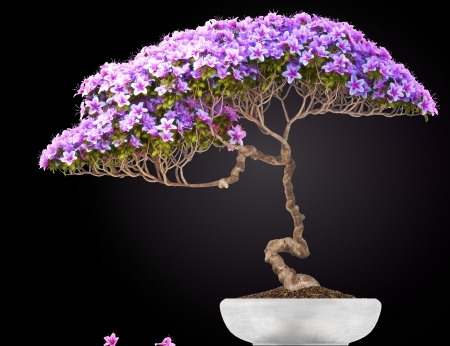 Bonsai potted tree,side view,with a black gradient background  Part of a Bonsai series