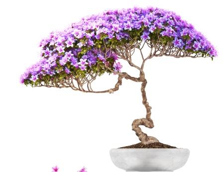 Bonsai arbre en pot, vue de côté, avec un fond blanc, partie d'une série bonsaï Banque d'images