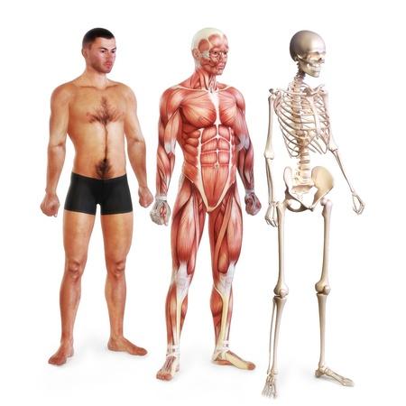 Mannelijk, illustratie, van huid-, spier-en skelet-systemen geïsoleerd op een witte achtergrond 3D-modellen