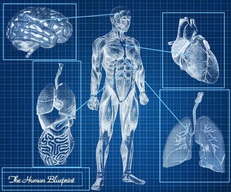 organos internos: Los órganos del concepto Blueprint humano, cuerpo, corazón, pulmones, cerebro e internos