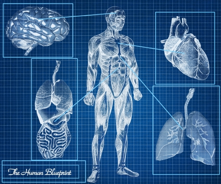 The Human Blueprint concept, body, heart, lungs, brain and internal organs