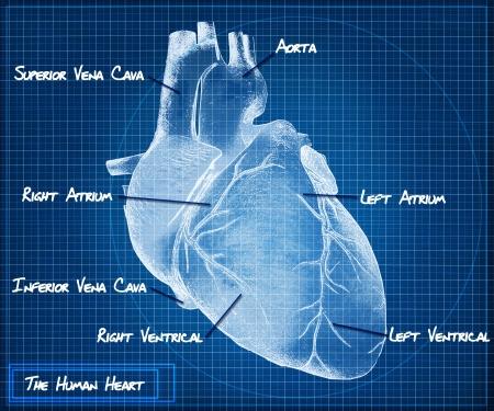 Herzkrankheit: Das menschliche Herz Blaupause Konzept