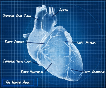 medical drawing: The Human heart blueprint concept