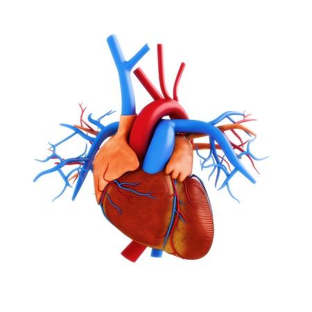 attacco cardiaco: Cuore umano anatomia illustrazione su uno sfondo bianco Parte di una serie medica