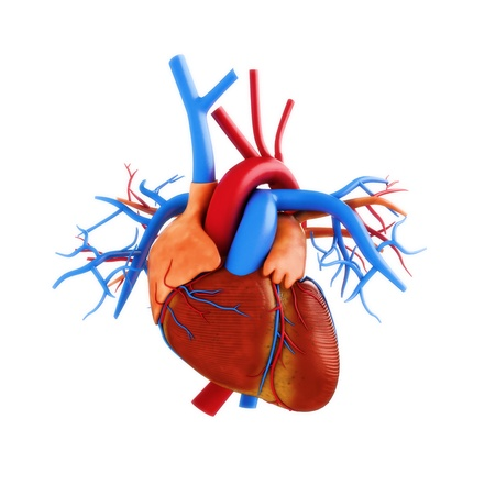 heart disease: Ilustración de la anatomía humana del corazón sobre un fondo blanco Parte de una serie médica