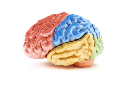 人間の脳の医療シリーズの一部の背景が白で着色されたセクション