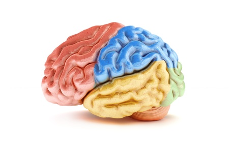 cerebra: Colored sections of a human brain on a white background  Part of a medical series Stock Photo
