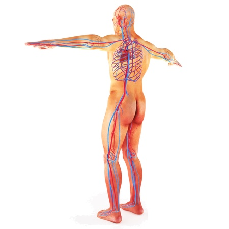 Male Human circulatory system, blood circulation on a white background  Part of a medical series