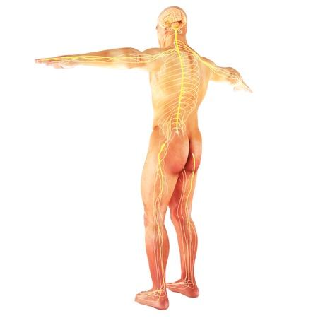 医療シリーズの部分の白い背景の上の男性の人間の神経系