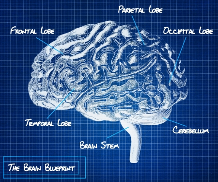 cerebro humano: El modelo del cerebro humano que ilustra el área diferente s de la parte del cerebro de una serie anteproyecto médica
