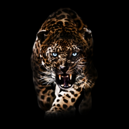 Leopard with glowing blue eyes piercing through the darkness photo