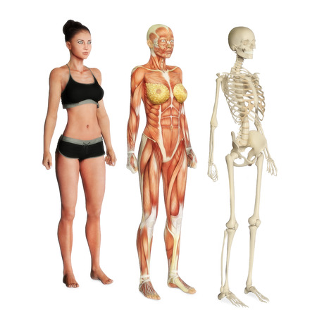 Female illustration of skin, muscle and skeletal systems isolated on a white background  Male version also available