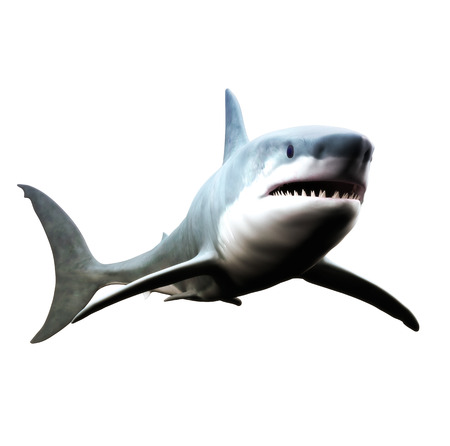 Great white shark swimming on a white background.