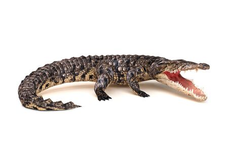stance: crocodile in aggressive stance isolated on a white background. Stock Photo