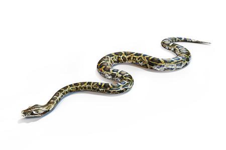 흰색 배경에 아나콘다 뱀.