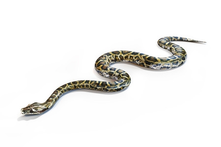 Anacondas snake on a white background.