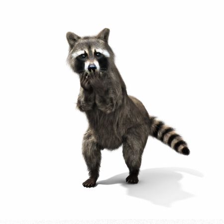 Funny sneaky conniving raccoon standing on his hind legs with its hands over its mouth laughing or taunting ,isolated on a white background. 3d rendering Stock Photo