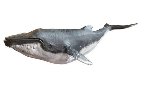 在一個孤立的白色背景座頭鯨。 3D渲染