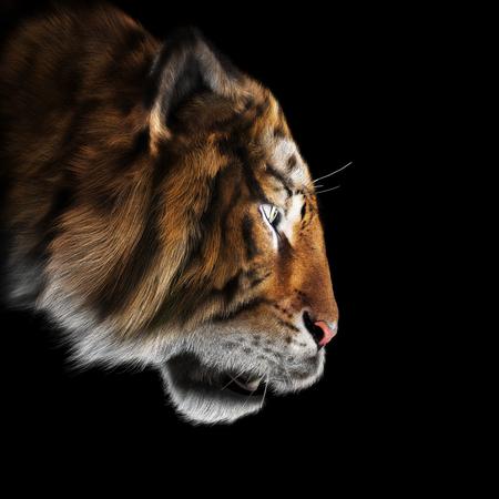 Tigre acechando su orar sobre un fondo negro. Representación 3D Foto de archivo